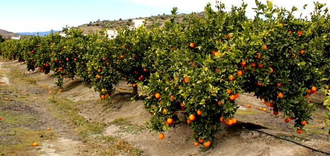 Contacto para comprar naranjas